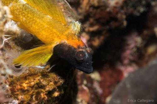 Peperoncino giallo - Tripterygion delaisi